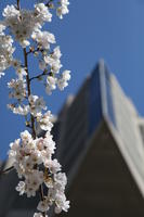 Cherry blossoms and Robarts Library