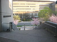 Cherry tree blossoms and Fisher Rare Book Library stairway