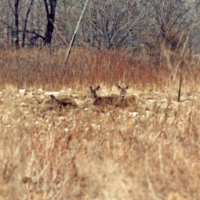 UTM, deer laying down
