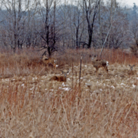 UTM, deer grazing